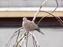 Голубь на дереве березы Стоковая Фотография