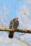 Голубь на дереве Стоковое Изображение