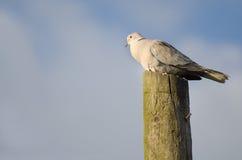 Голубь на деревянном столбе Стоковая Фотография