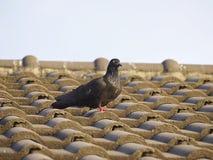 Голубь на крыше Стоковое Фото