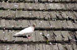 Голубь на крыше Стоковые Фото