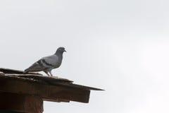 Голубь на крыше Стоковая Фотография