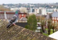 Голубь на крыше Стоковое Изображение RF