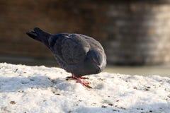 Голубь на снеге Стоковое фото RF