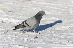 Голубь на снеге Стоковое Фото