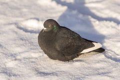 Голубь на снеге Стоковые Фотографии RF