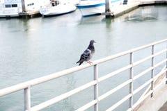 Голубь на уступе на пристани Стоковые Изображения