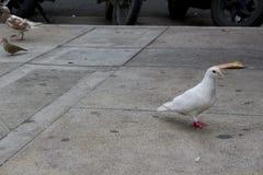 Голубь на улице Белый голубь идя в улицу Стоковая Фотография