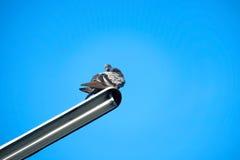 Голубь на электрическом кабеле Стоковая Фотография RF