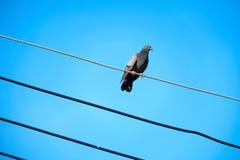 Голубь на электрическом кабеле Стоковые Изображения RF