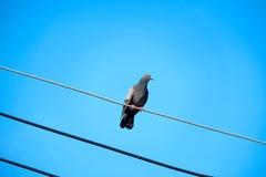 Голубь на электрическом кабеле Стоковое Фото