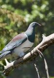 Голубь Новой Зеландии Стоковые Фото