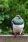Голубь Новой Зеландии Стоковое Фото