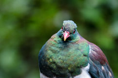 Голубь Новой Зеландии Стоковое Изображение RF