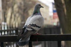 Голубь, птица сидя на загородке среди деревьев Стоковая Фотография RF