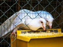 Голубь птицы Стоковая Фотография