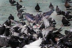 Голубь развевая свой взлет крылов над тротуаром в городе Взгляд парящего ангела Стоковые Изображения RF