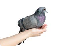 Голубь руки Стоковое Фото