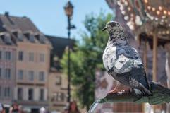 Голубь садился на насест на фонтане для выпивать в Мюлузе Стоковые Фото