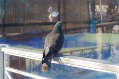 Голубь сидя на загородке Стоковые Изображения RF
