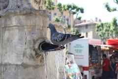 Голубь стоя в воде в фонтане Стоковые Фото