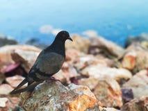 Голубь стоя на коричневом камне Стоковые Фото