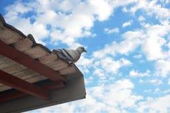 Голубь стоя на крыше Стоковое фото RF