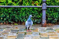Голубь с sprig в своем клюве против фона куста Стоковое Фото