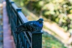 Голубь утеса в парке стоковое фото rf