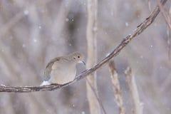 Голубь утра в зиме Стоковая Фотография