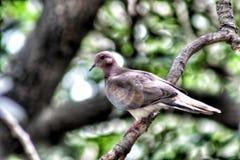 Голубь черепахи, птица на ветви Стоковое Фото
