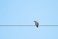 Голубь черепахи Стоковые Изображения RF