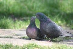 Голубь, любовная история Стоковые Фото