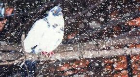 Голубь Стоковое фото RF