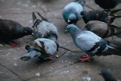 Голубь Стоковая Фотография