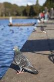 Голубь Стоковые Фото