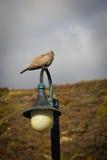 Голубь Collared eurasian Ла Palma, Лос Canarios, Канарских островов Стоковые Изображения