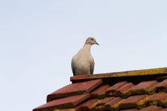 Голубь collared eurasian стоя на крыше Стоковые Изображения