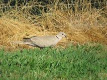 Голубь Collared eurasian с красным макросом глаза Стоковое Изображение RF