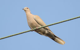 Голубь Collared eurasian Стоковые Фото