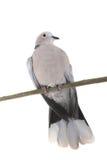 Голубь collared eurasian Стоковые Изображения RF