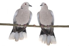2 голубь collared eurasian Стоковое Изображение RF