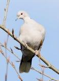Голубь Collared eurasian - decaocto горлицы Стоковое Изображение RF