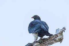 Голубь NZ Стоковые Фотографии RF