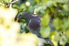 Голубь NZ Стоковая Фотография