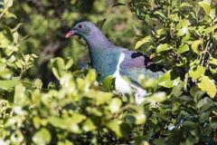 Голубь NZ Стоковое фото RF