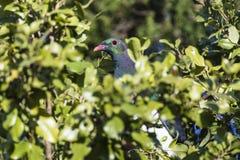 Голубь NZ Стоковые Фото