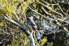Голубь NZ Стоковое Фото