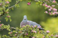 Голубь, palumbus колумбы, Стоковая Фотография RF