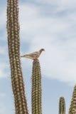 Голубь Roosting на кактусе Стоковая Фотография